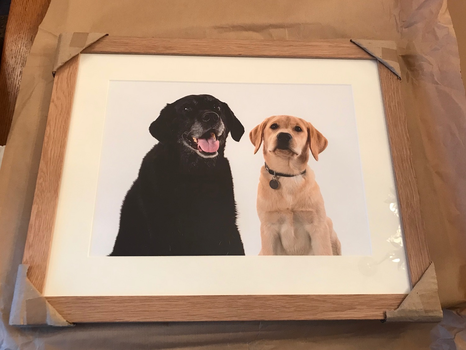 Two labradors pet photography