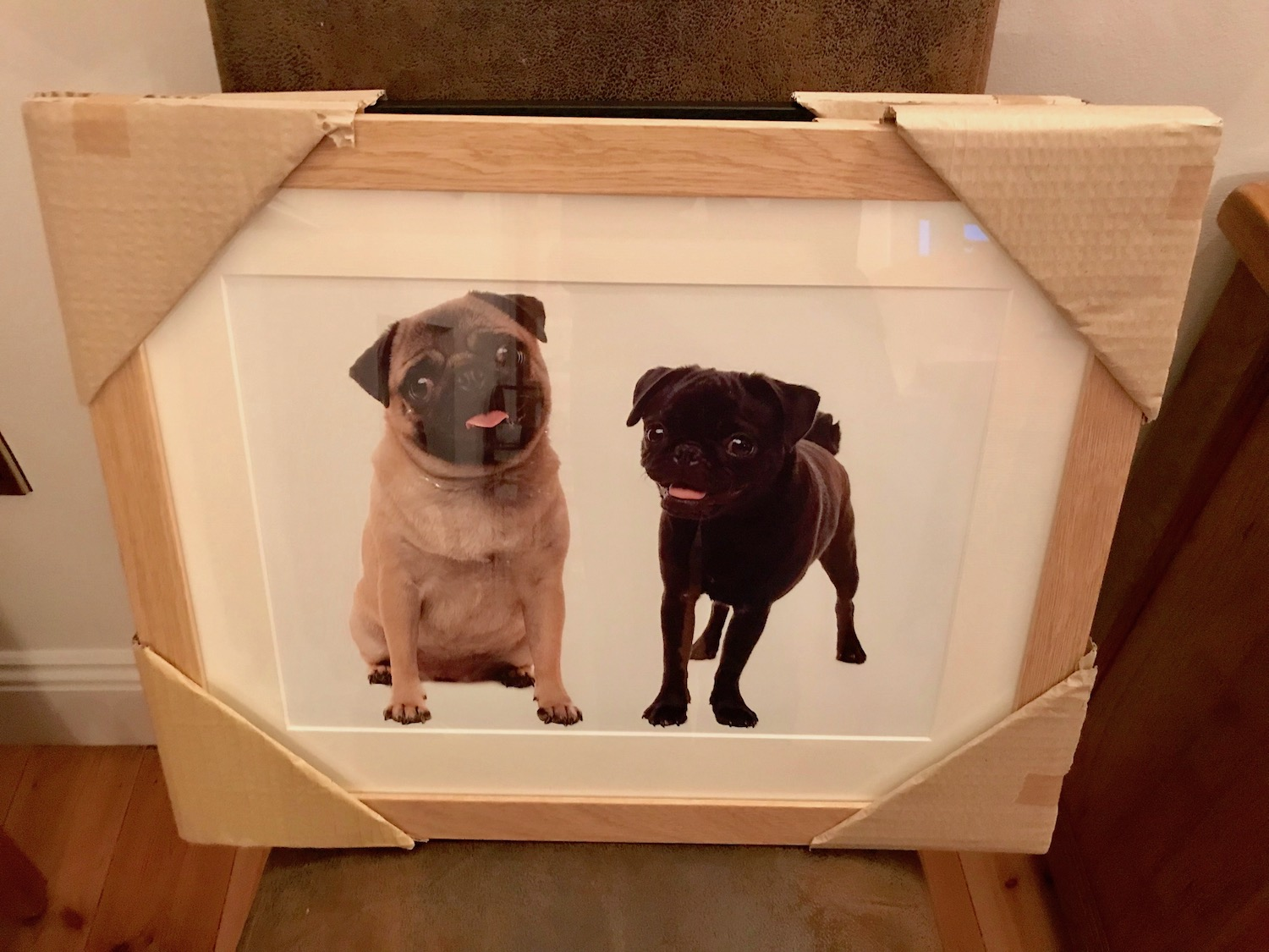 Two Pugs pet photography