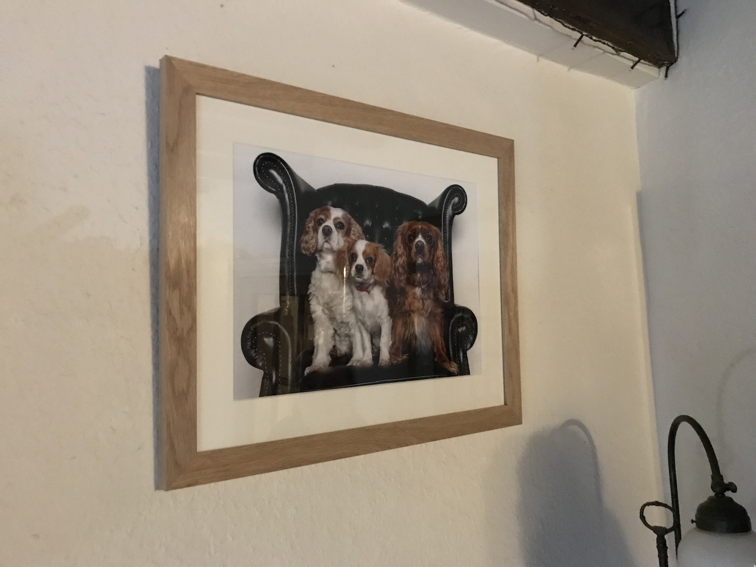 Three Cavalier King Charles Spaniels pet photography