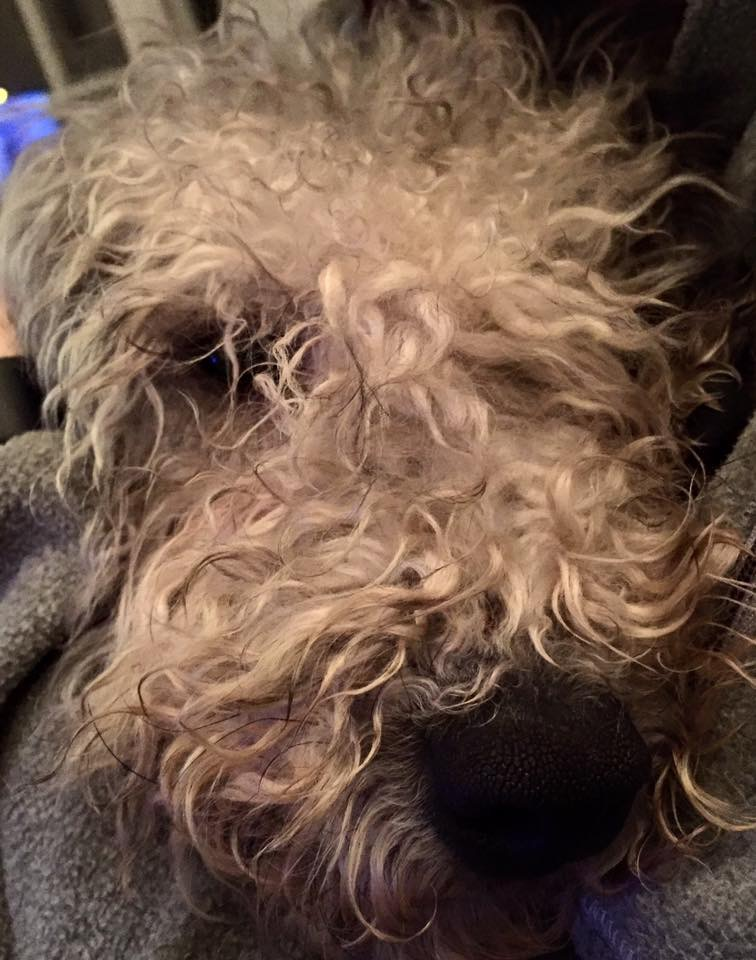 Scruffy Bedlington Terrier