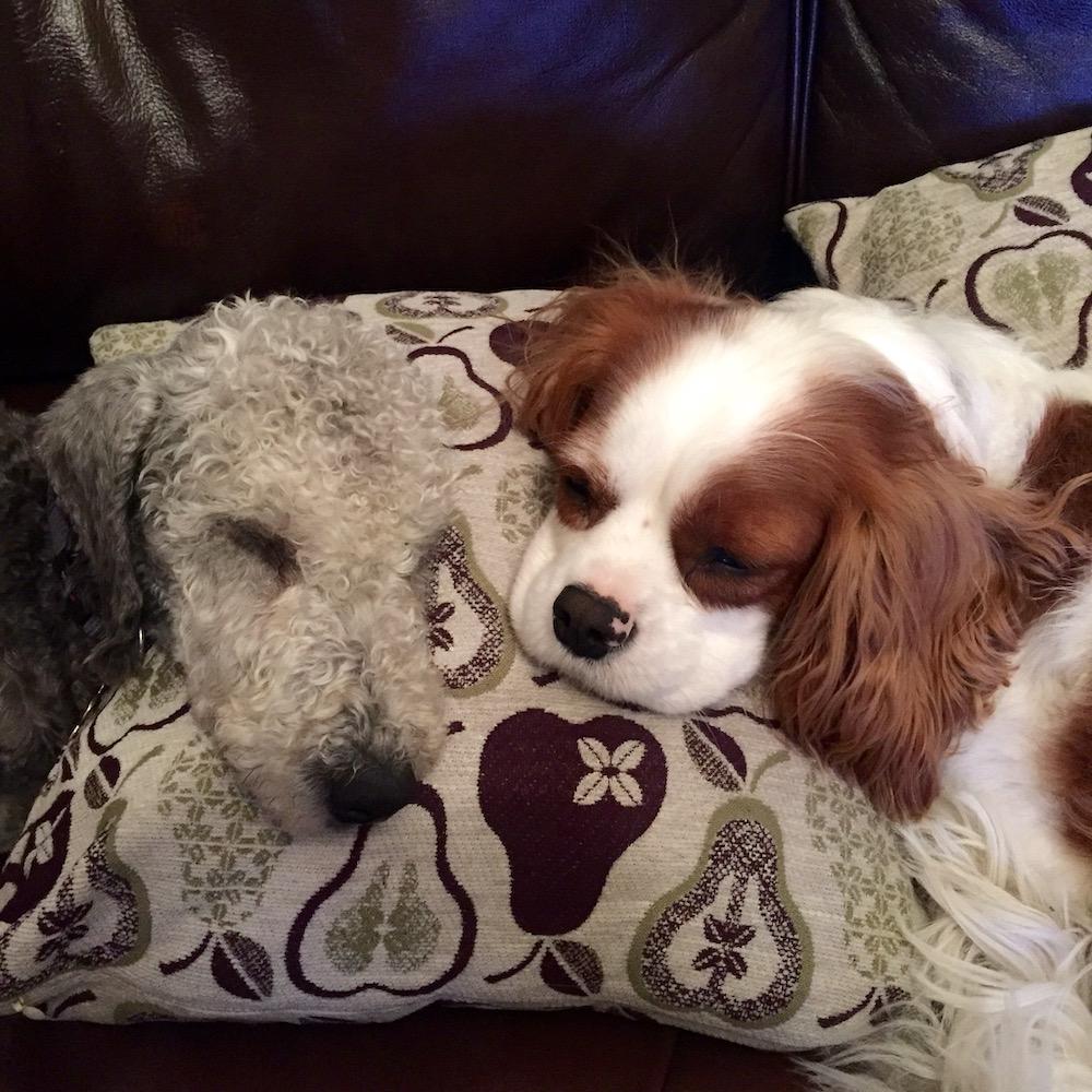 Henry the Bedlington Terrier and Jasper the Cavalier King Charles Spaniel on a cushion