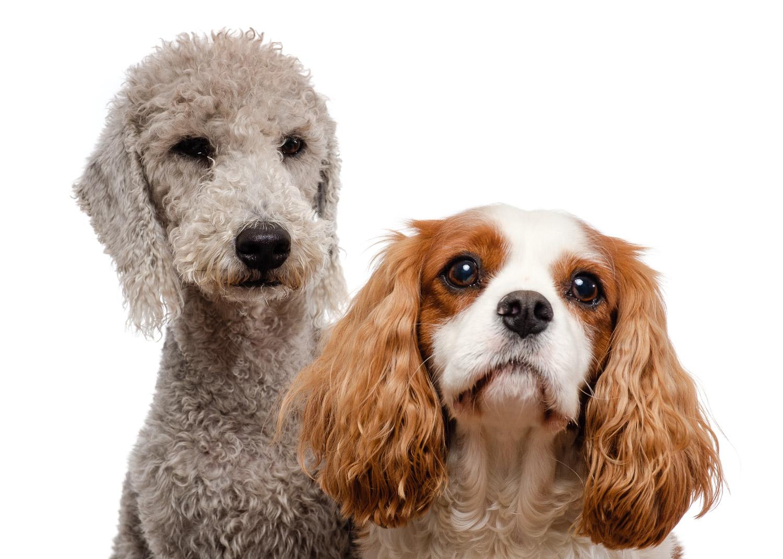 Henry the Bedlington Terrier and Jasper the Cavalier King Charles Spaniel in the studio