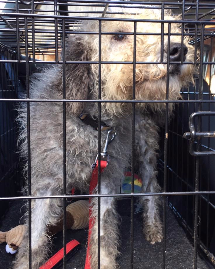 Henry the Bedlington Terrier in a crate