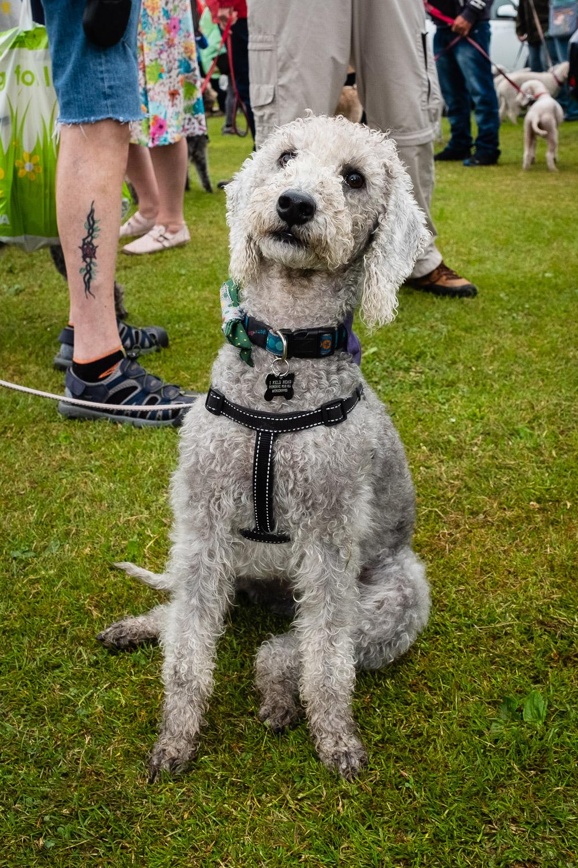 Henry at Bedlington Terrier Gathering 2018