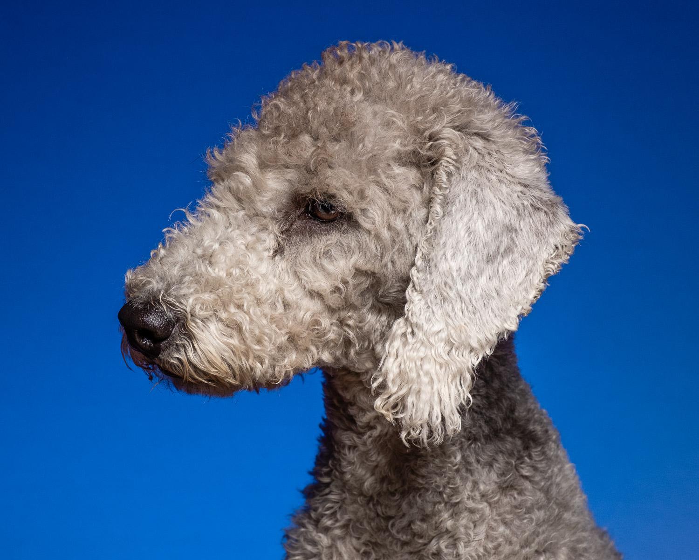 Bedlington Terrier on a blue background