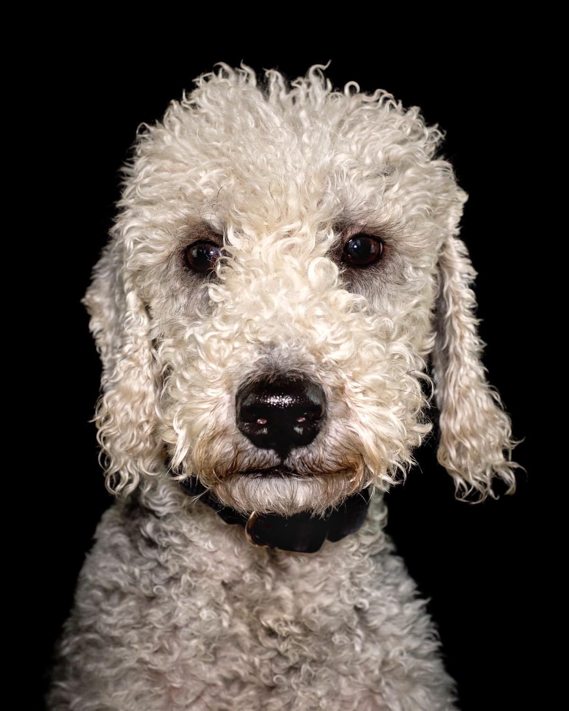 Bedlington Terrier on a black background