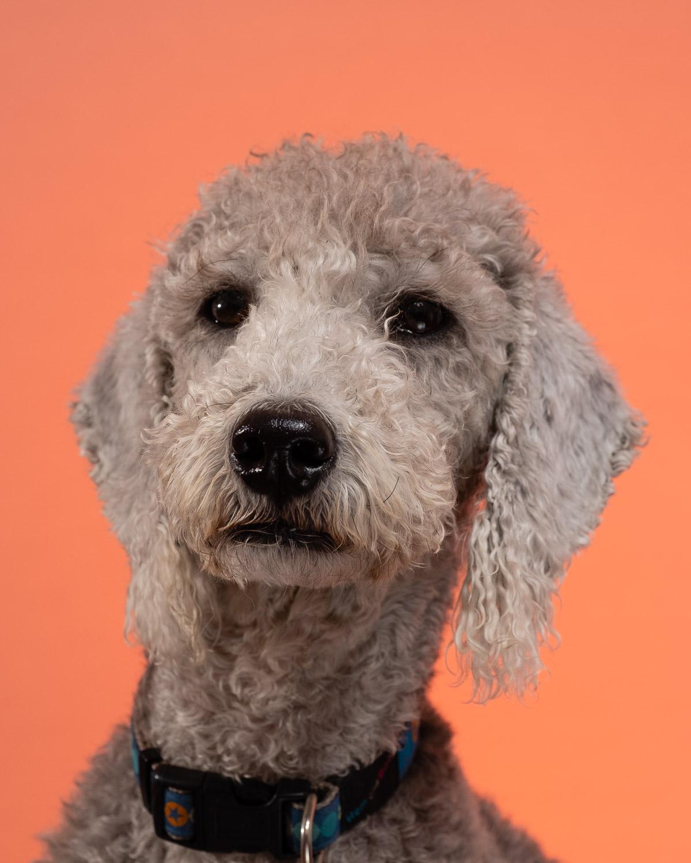 Bedlington Terrier on an orange background