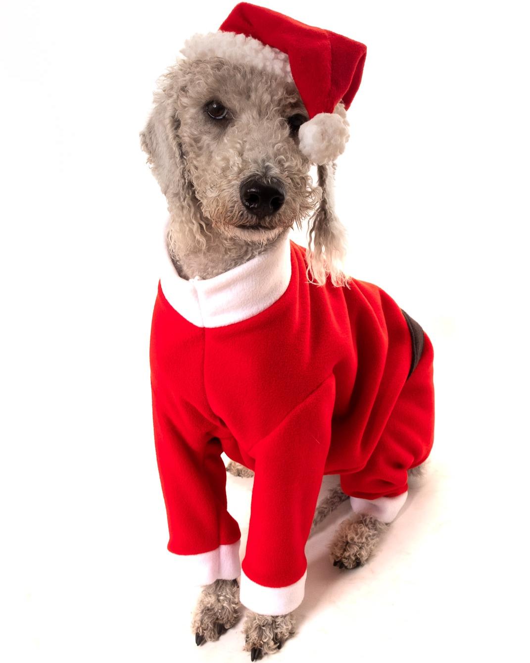 Bedlington Terrier in a Santa costume