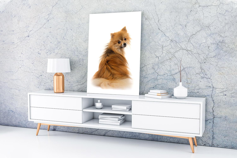 George the Pomeranian x Chihuahua