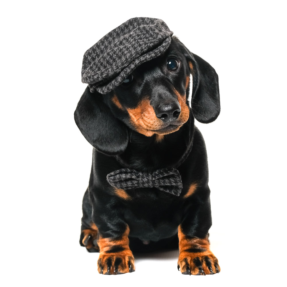 Frank the Miniature Dachshund.jpg