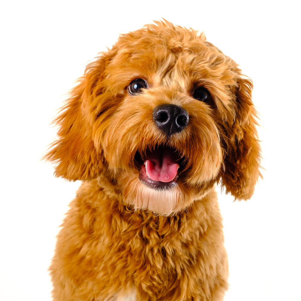 Teddy the Cavapoo.jpg