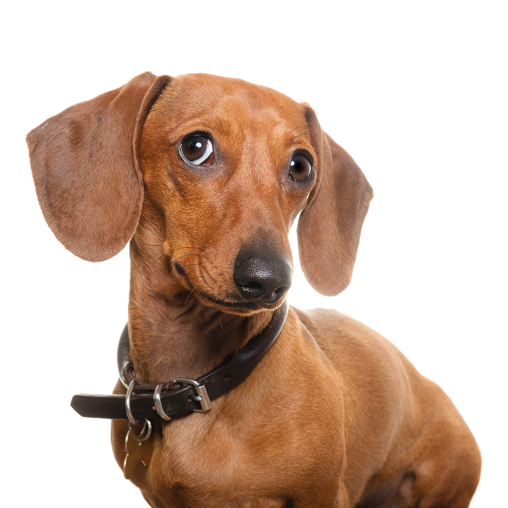Douglas the Miniature Dachshund.jpg