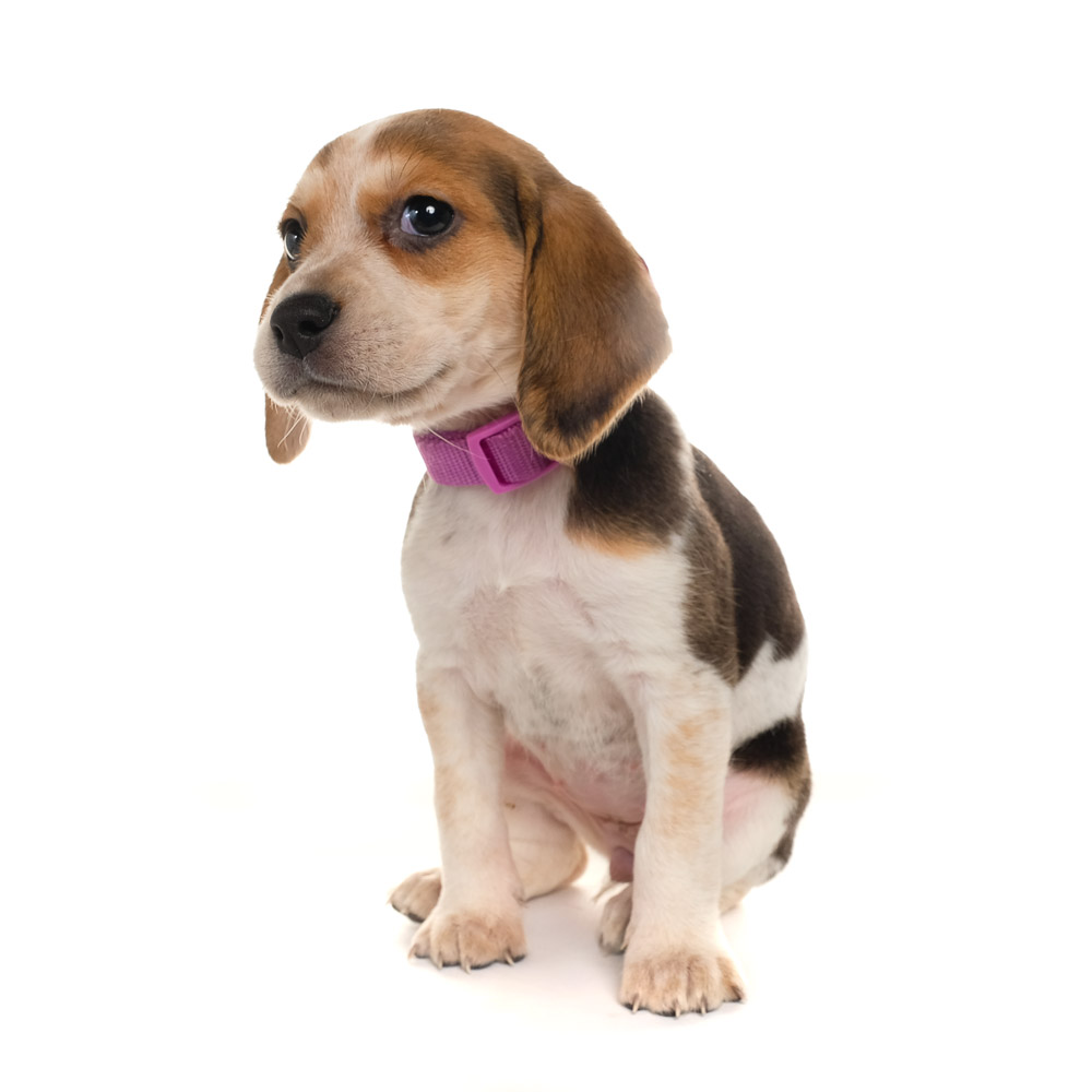 Bonnie the Beagle cross.jpg