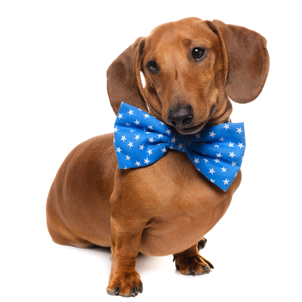 Buddy the Dachshund.jpg