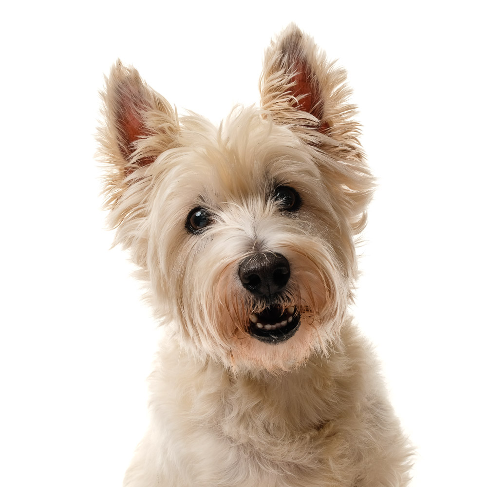 Lottie the West Highland Terrier.jpg