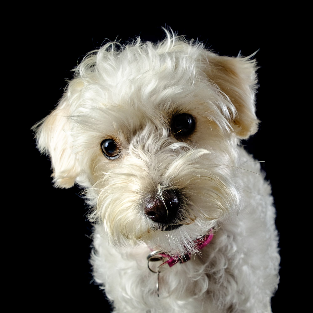 Tilly the Westiepoo.jpg