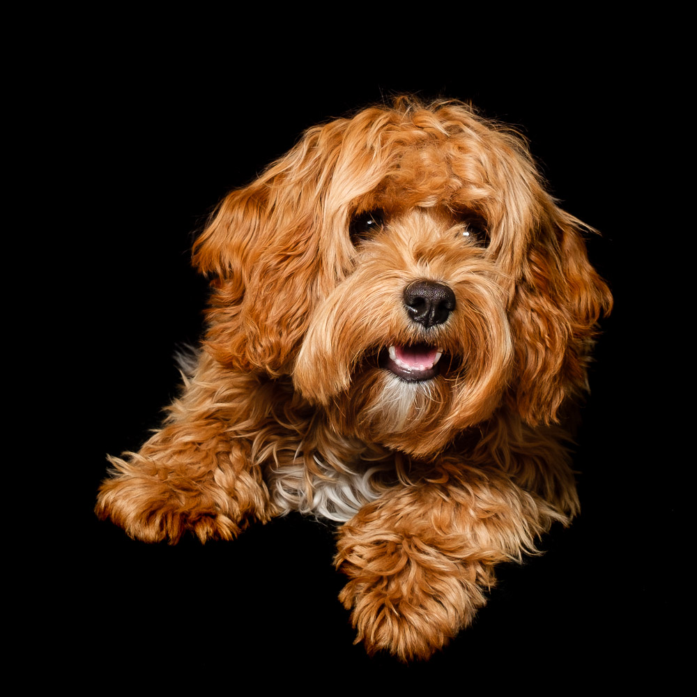 Simba the Cavapoo.jpg
