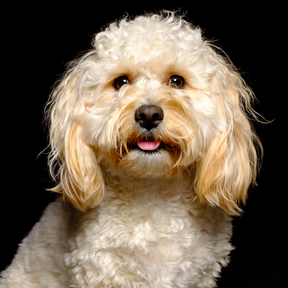 Harley the Cavapoo.jpg