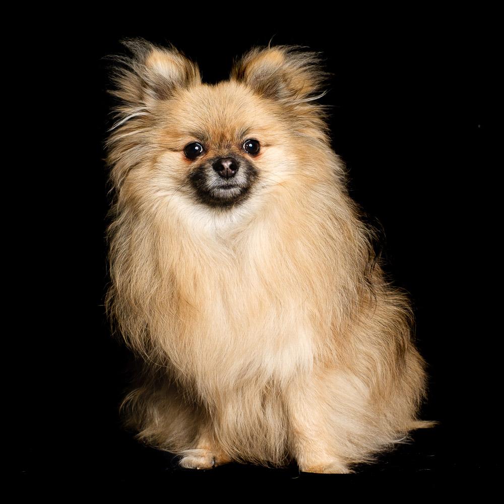 Lily the Pomeranian.jpg