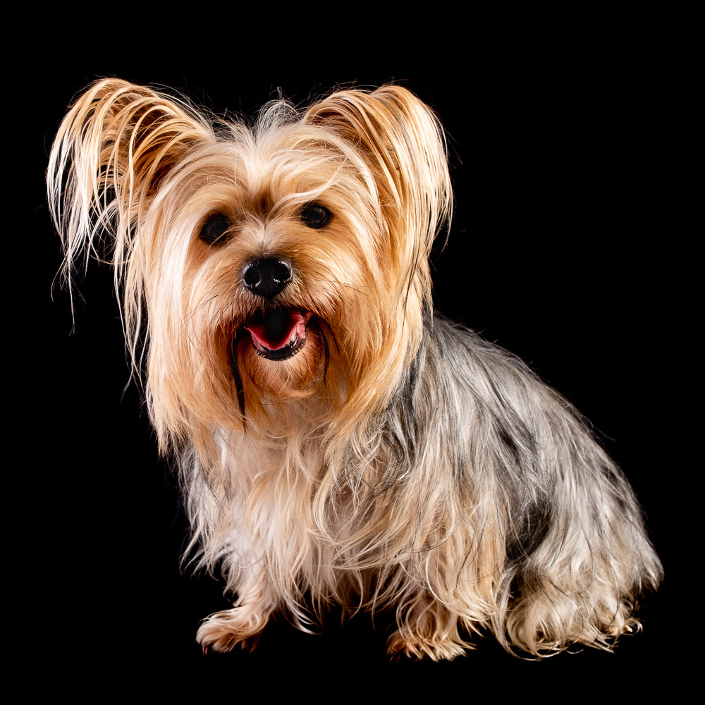 Muffin the Yorkshire Terrier.jpg
