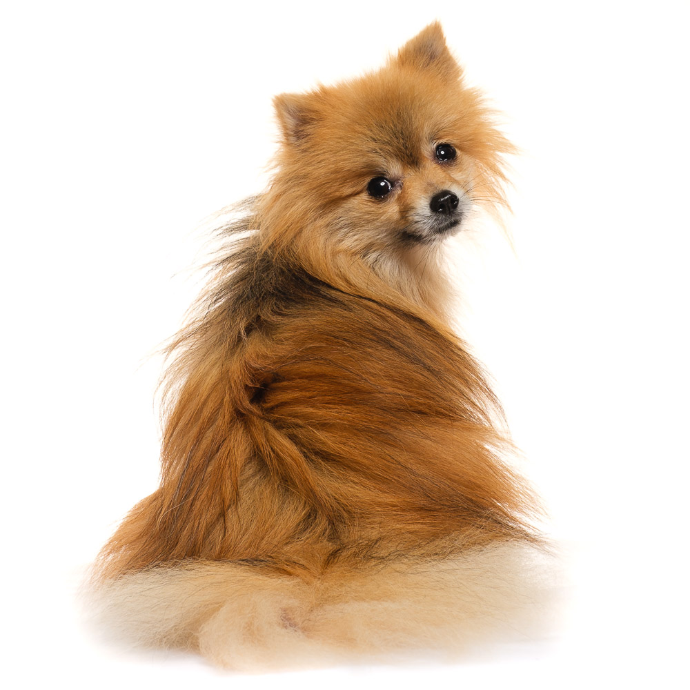 George the Pomeranian x Chihuahua.jpg