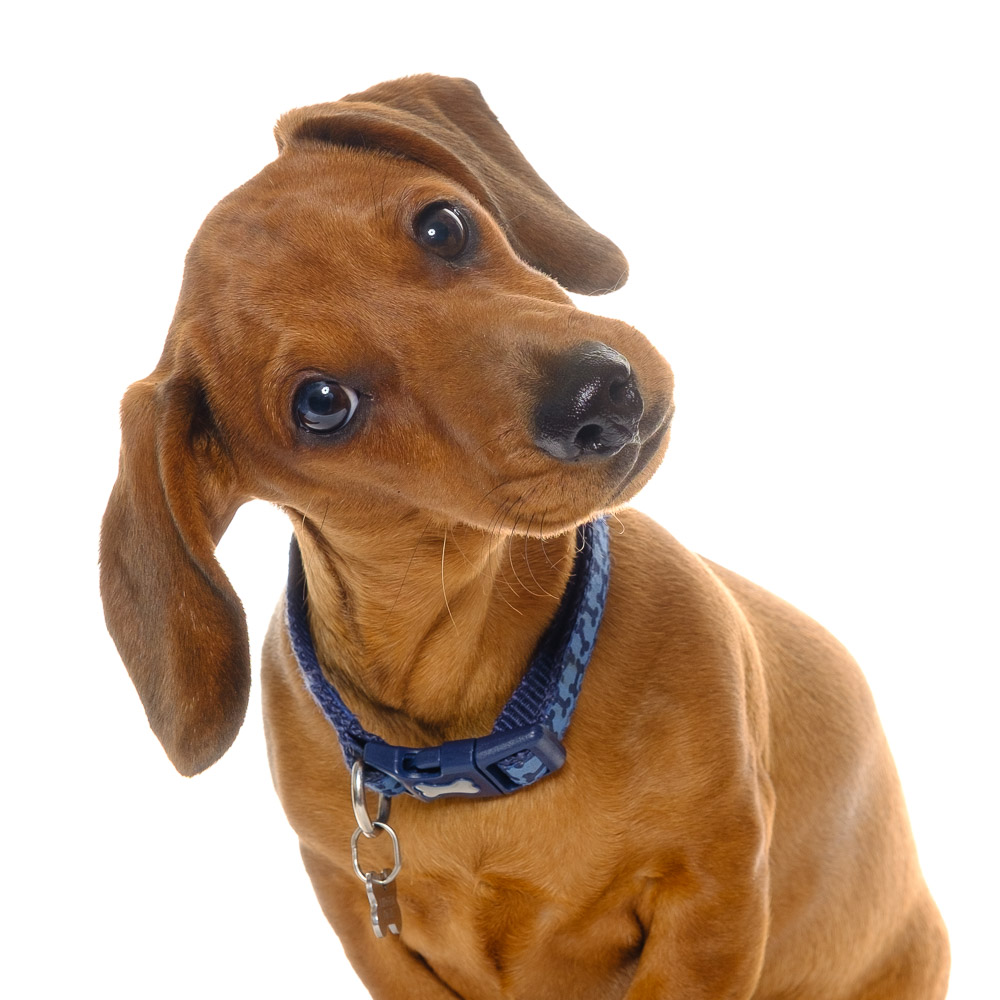 Fred the Miniature Dachshund.jpg