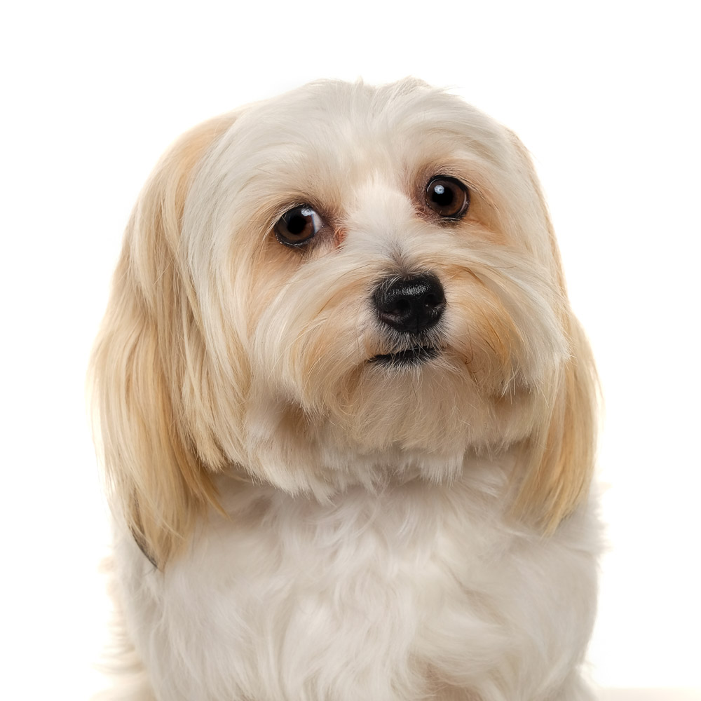 Betty the Maltese x Yorkie.jpg