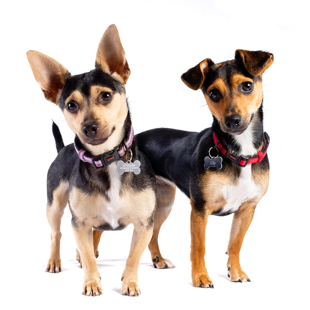 Lily and Violet the Chihuahua x Jack Russells.jpg