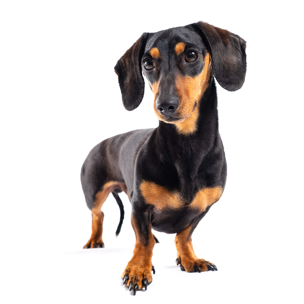 Brian the Miniature Dachshund.jpg