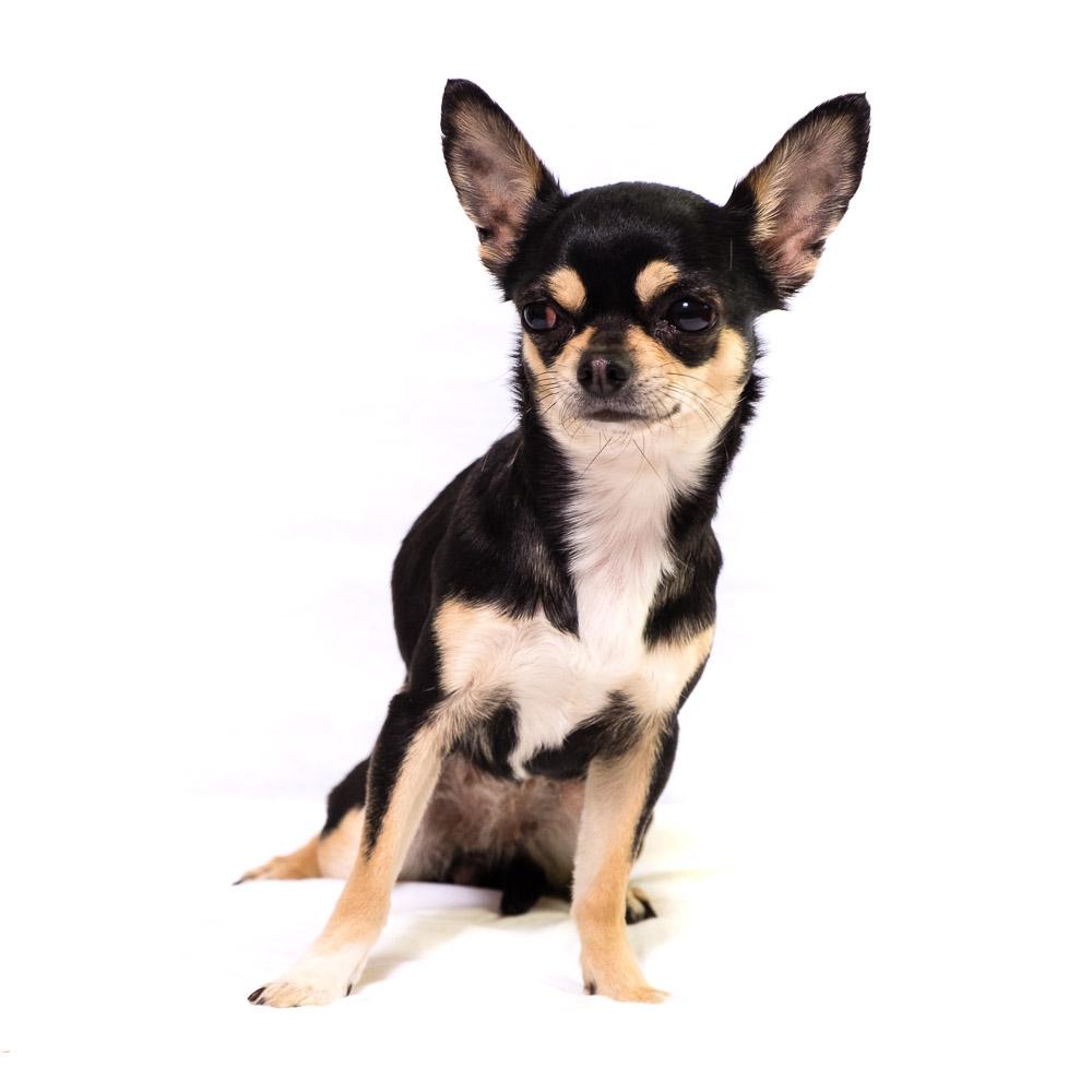 Winnie the Chihuahua.jpg