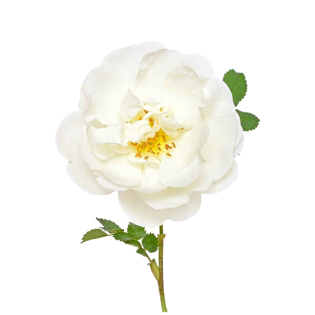 Calm contains botanical extracts found in white rose, reminding you to take pause in your day. -