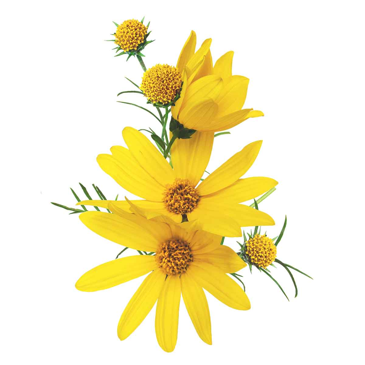 Relief contains botanical extracts found in camphorweed, producing a naturally musky flavor and aroma. -