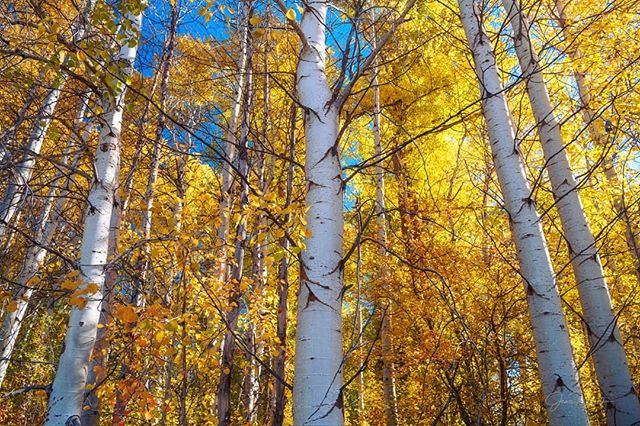"""Washington Aspen Mini-Series  Image 1: GOLDEN DOORWAY  Between every two trees is a doorway to a new world. - John Muir  33 years ago today, I was born.  My first word was """"tree"""" (say my parents), uttered as I stared up in awe. Since then, my love and appreciation for trees has only grown.  Trees provide us with many life-givingbenefits,including clean air,filtered water, shade, shelter, and food. They give us hope, insight, and courage to persevere—even in the harshest conditions. Treesteach us to soarto great heights while remaining rooted.  #aspentrees  #autumn  #fall  #fallcolors  #earth_deluxe  #washingtonexplored  #wenatchee  #landscapephotography"""