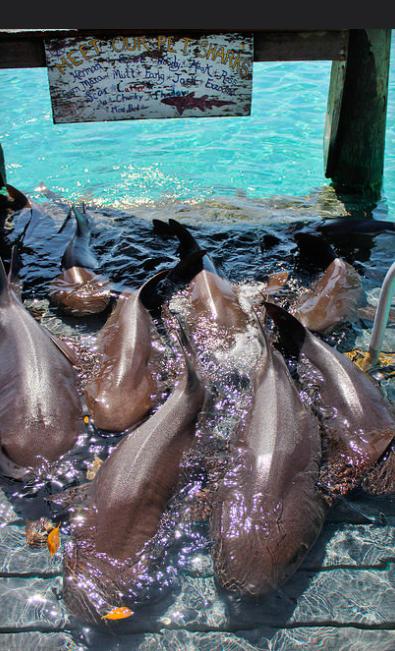 Filhotes de tubarão em Compass Cay