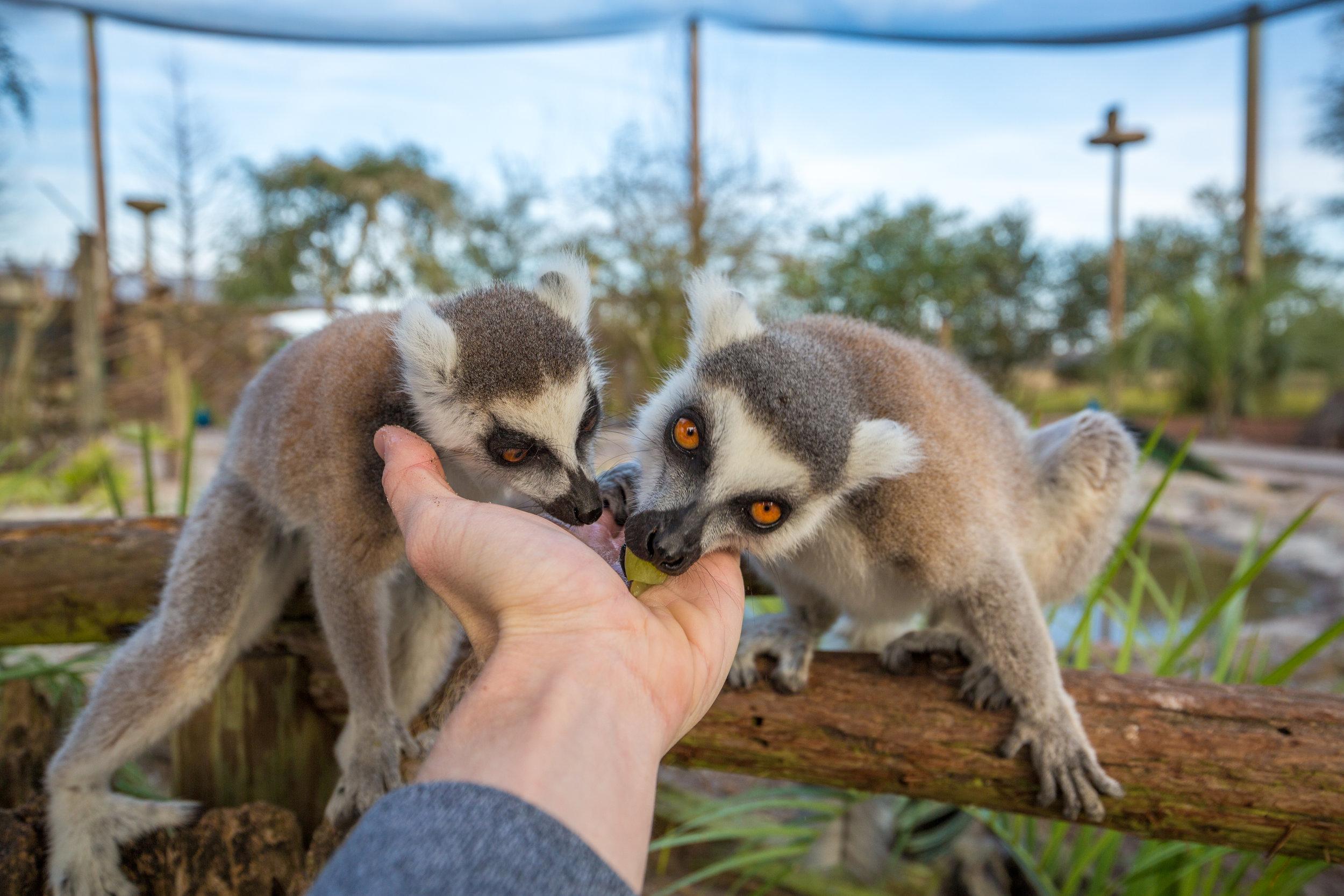 Alimentar os lêmures é uma atividade extra, que pode ser paga a parte. Foto:   Visit Central Florida  .