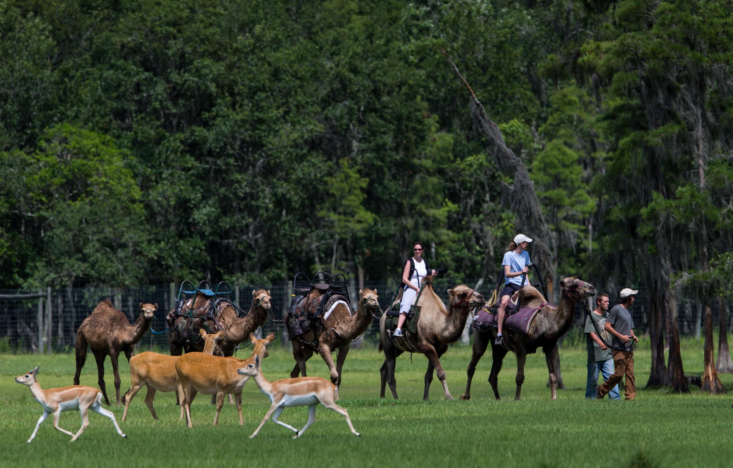 A outra opção de safari é fazer todo o trajeto de camelo. Foto: Visit Central Florida.