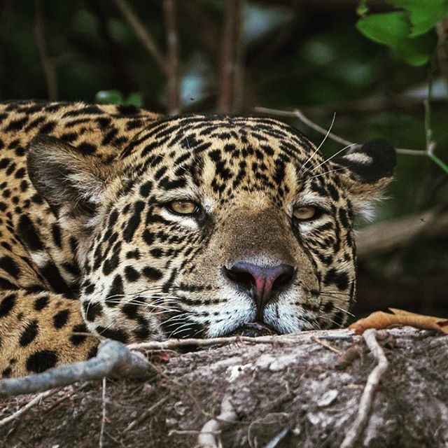 Happy #worldjaguarday, the first of many. Jaguars are the most incredibly intelligent Big Cats – unafraid of water like tigers, brave like lions and tenacious like leopards. Come join me on the Cuiabá River, Pantanal in 2019 on an exclusive photo safari to see and photograph these magnificent Big Cats. Still have a few openings for 2019 and more in 2020! Contact me on info@edbraz.com for details or see my page https://edbraz.com/destinations-blog/2019bz • • #edbrazphotosafaris #brazil #panatanal #photosafari #jaguar #onçapintada #naturephotography #catsofinstagram #wildlifephotography