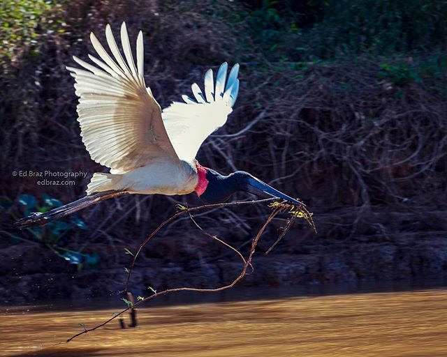 The Pantanal has a fascinating variety of birds. The Jabiru Stork flies past with a beak-load of nesting material. My next photo safari to the Pantanal takes place in August - taking reservations.... • • #pantanal #jabiru #brazil #jaguar #photosafari #edbrazphotography