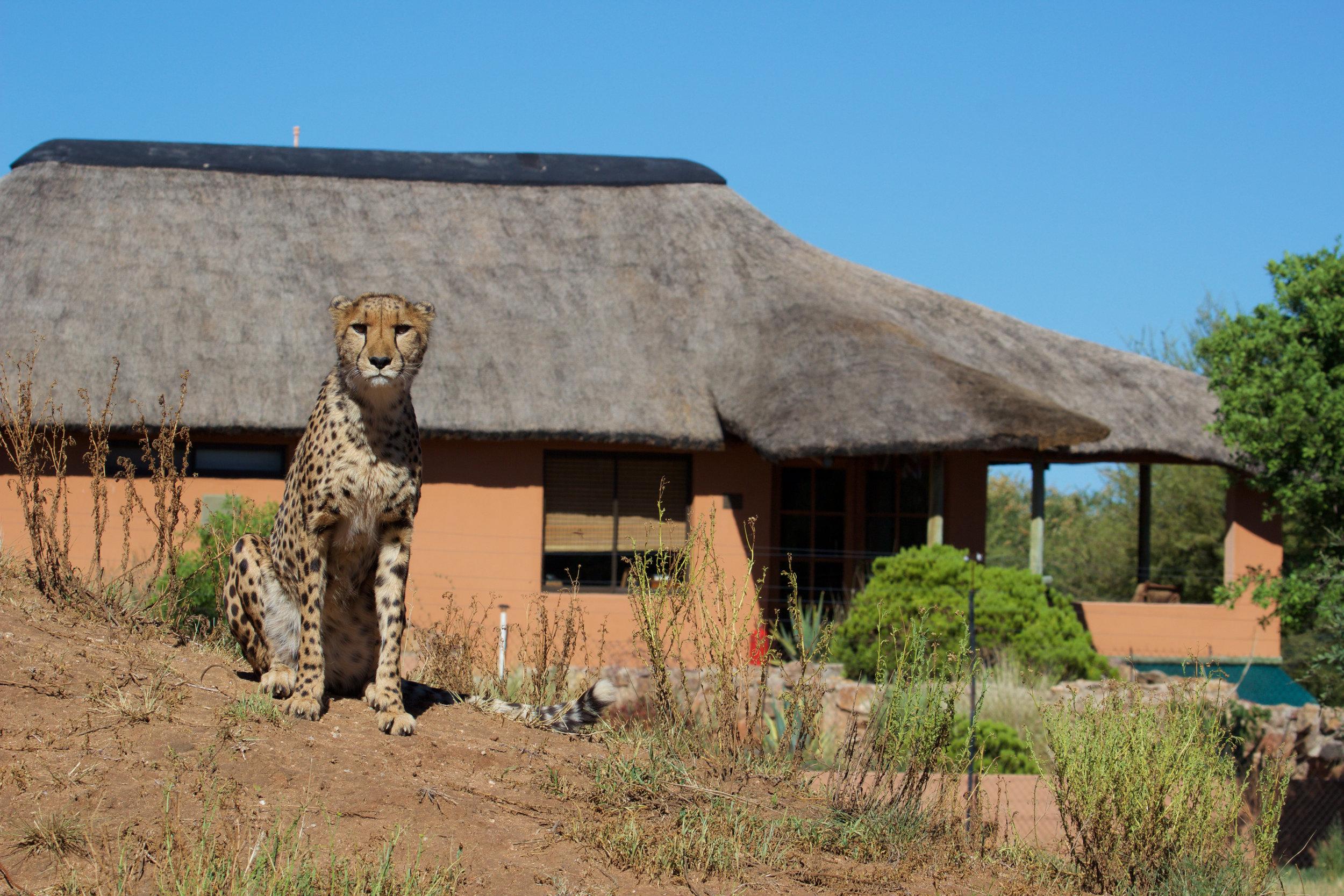 CheetahEco-Eli.Walker3-2.jpg