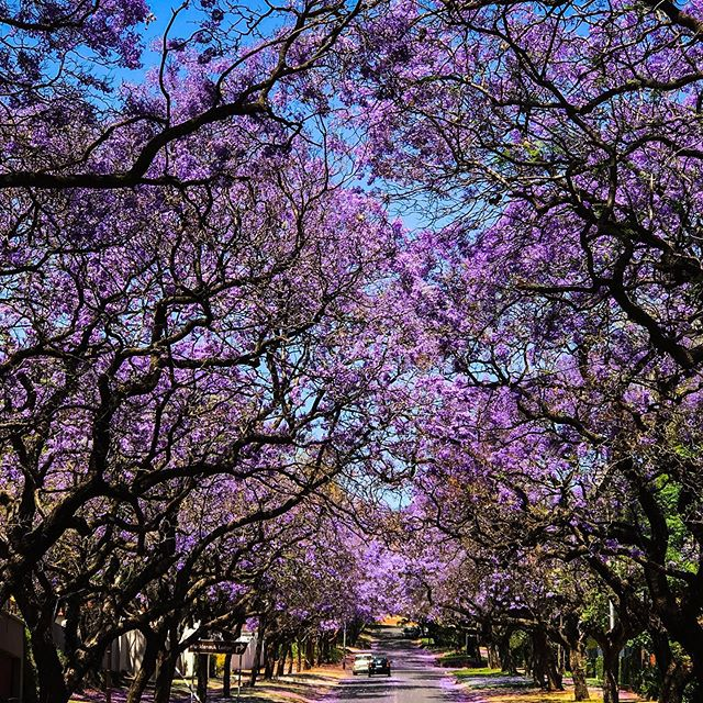 Driving through Pretoria, South Africa, I was astonished at the beautiful purple-colored blossoms of the jacaranda trees lining the streets. They are not indigenous to the area but are being allowed to stay until they wither naturally. Had to share the beauty! • • #pretoria #jacaranda #beauty #jacarandacity #edbrazphotography