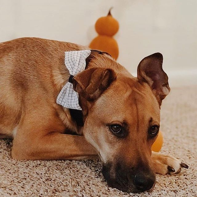 @saoirsetherhodesian can brighten up even the gloomiest fall day! How sweet does she look in our teacher's pet bow tie? If your not the bow/bow tie type there is also a teacher's pet bandana! #perseveringpack #dogmodel #dogfashion #dogbowtie #dogbandana #rhodesianridgeback #rhodesianridgebackpuppy #barkandsniffens #shelterdog #rescuedog #adventuredog #coloradodog #doglove #doglovers #dapperdog #dailydog #instadogs #dogsofmichigan