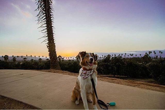 Is there anything better than a cute fluffer, gorgeous sunset, and a stylish bandana? @monty.adventure.aussie is stunning in our Oh My Gourd Bandana! #perseveringpack #aussiesofinstagram #aussie #aussiepuppy #australianshepherd #dailyfluff #weeklyfluff #dailybarker #dogphotography #dogandpals #dogadventures #adventuredog #sunset #dogsofcalifornia #dogsofmichigan #dogmodel #dogaccessories #dogfashion #dogbandana