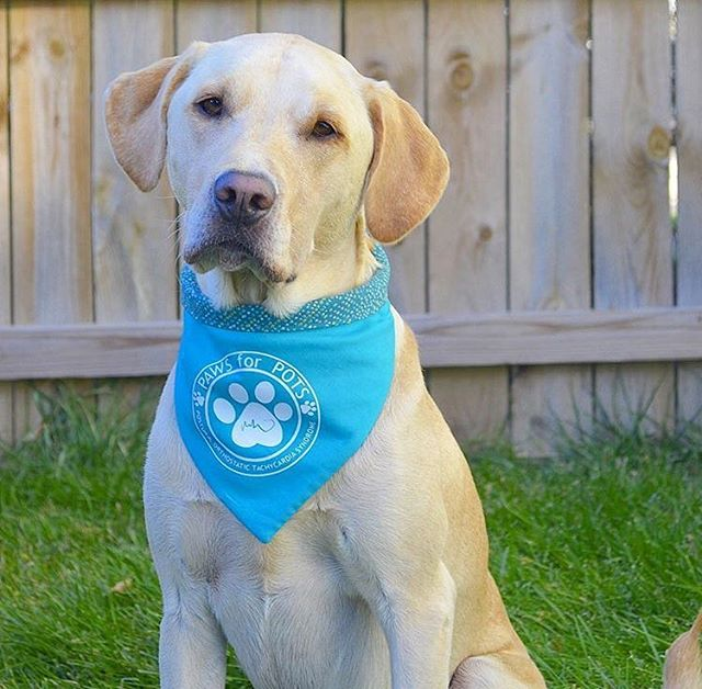 Isn't @bentleyjackthelab the cutest in his PAWS for POTS bandana? He is being trained to be a service dog to help his handler with POTS! Today we released this months Paws for a Cause bandana that will be benefiting @emmasfoundationforcaninecancer ! You can see them now on our story and website! #perseveringpack #caninecancer #caninecancerwarrior #dogcancer #cancersucks #dysautonomia #posturalorthostatictachycardiasyndrome #servicedog #servicedogintraining #labsofinstagram #dogsandpals #dailybark #dogaccessories #dogmodel #dogbandana #dogmom #bethechange #dogsofmichigan