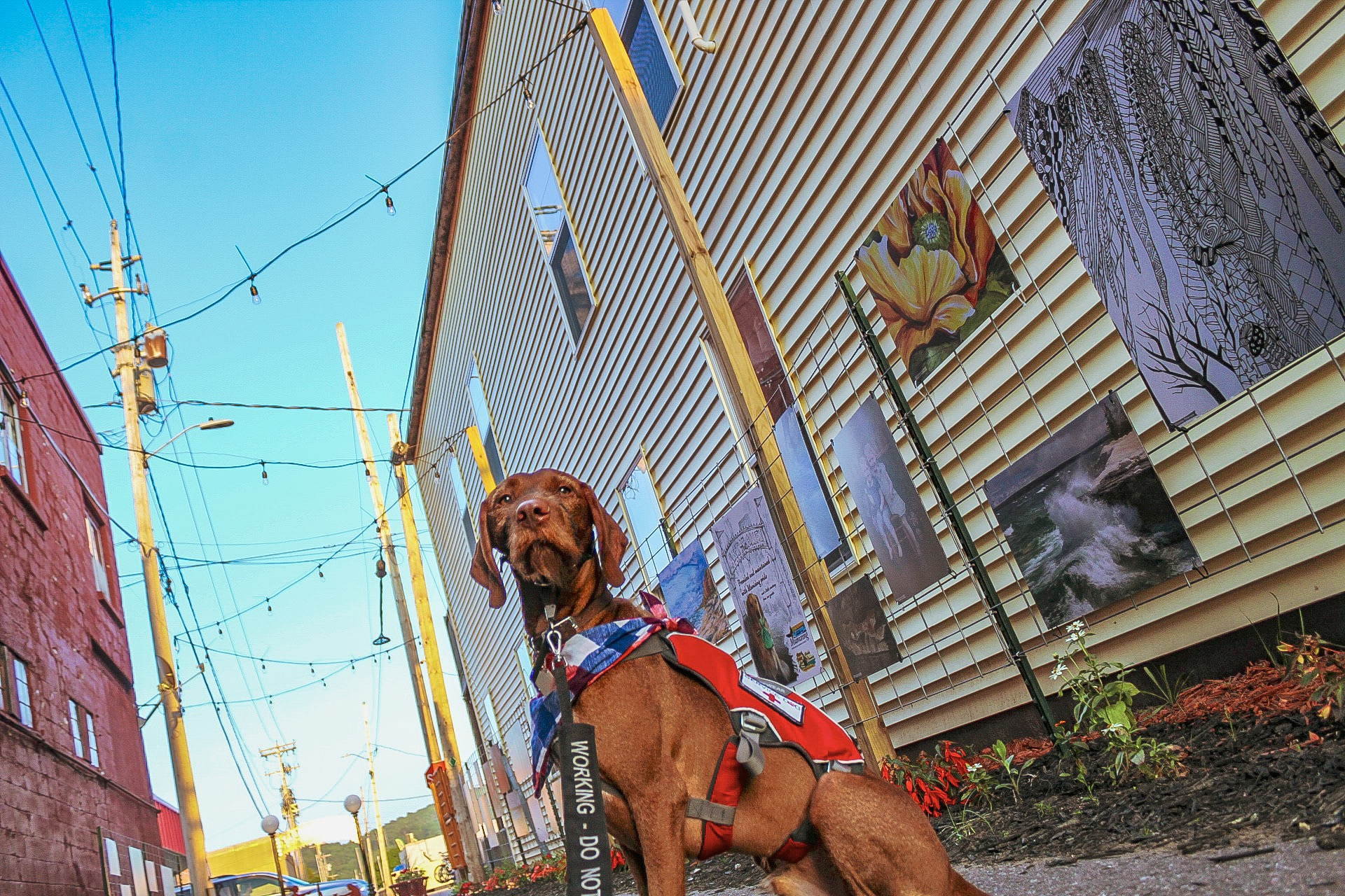 Piper looks majestically toward the camera in an ally with lights strung above him and artwork hung on the walls. He is wearing a red rufffwear pack with service dog patches, a red, white, and blue plaid bandana, and a leash wrap that says working- do not pet.