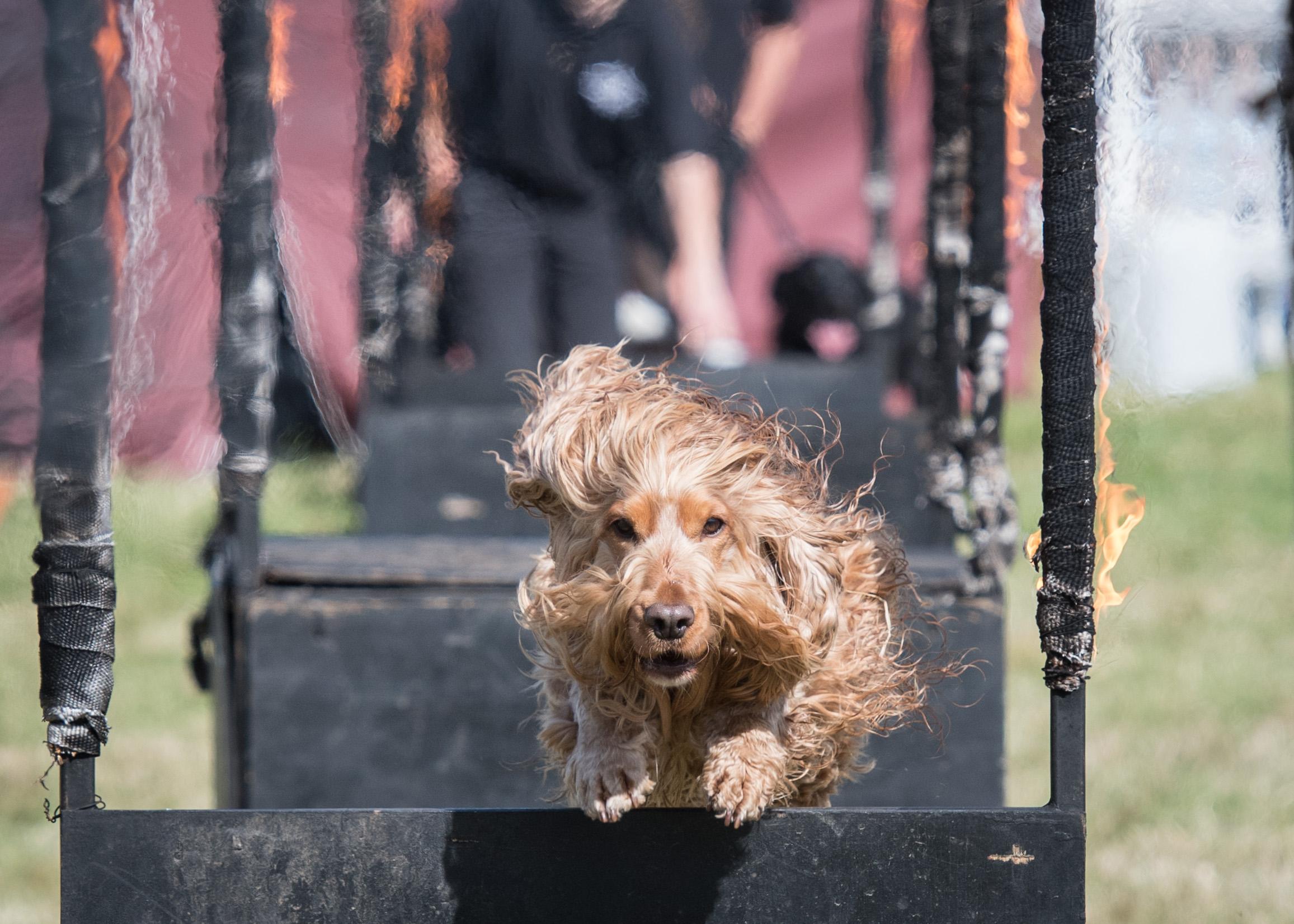 DogFest golden cocker fire hoop Conquest K9 - DSC_0519.jpg