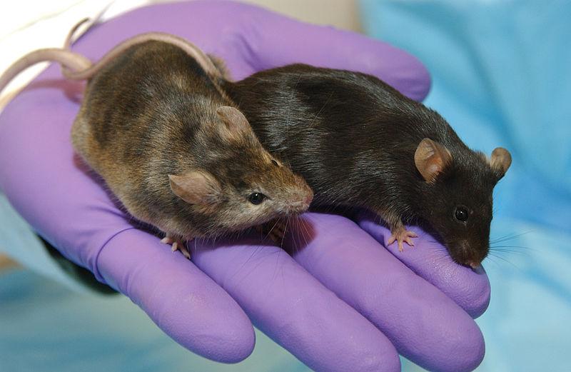 Ein Totalverbot von Versuchen an Mensch und Tier würde die biomedizinische Forschung zum Erliegen bringen (Bild:  Maggie Bartlett, NHGRI ).