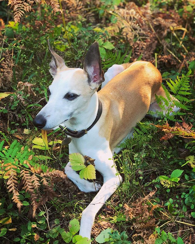 My little Woodling Whippet. 🌿🌱 #whippet