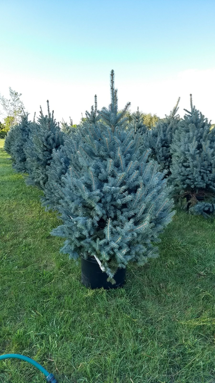 Baby Blue Spruce 1.jpg