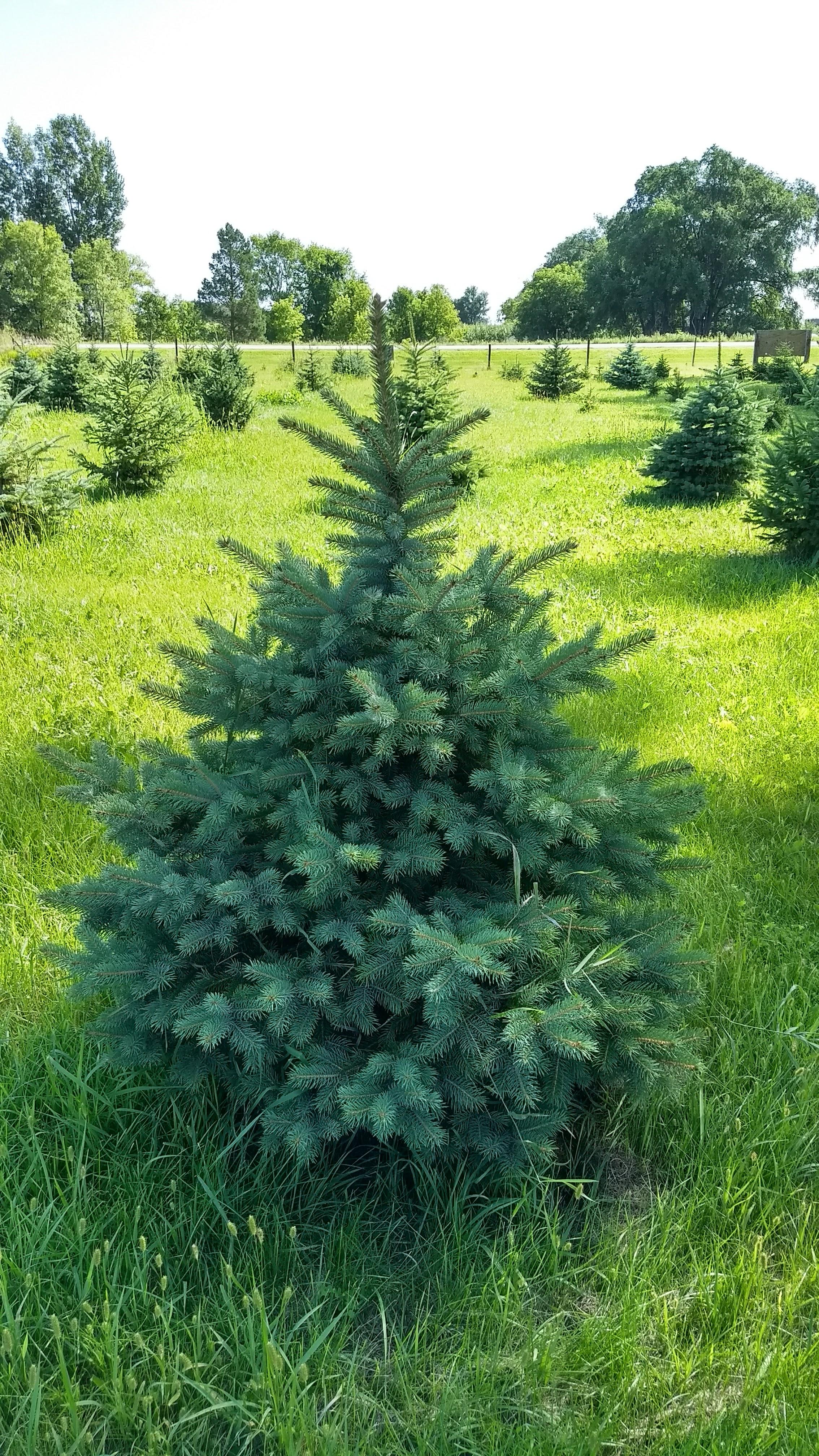 Colorado Blue Spruce 10.jpg