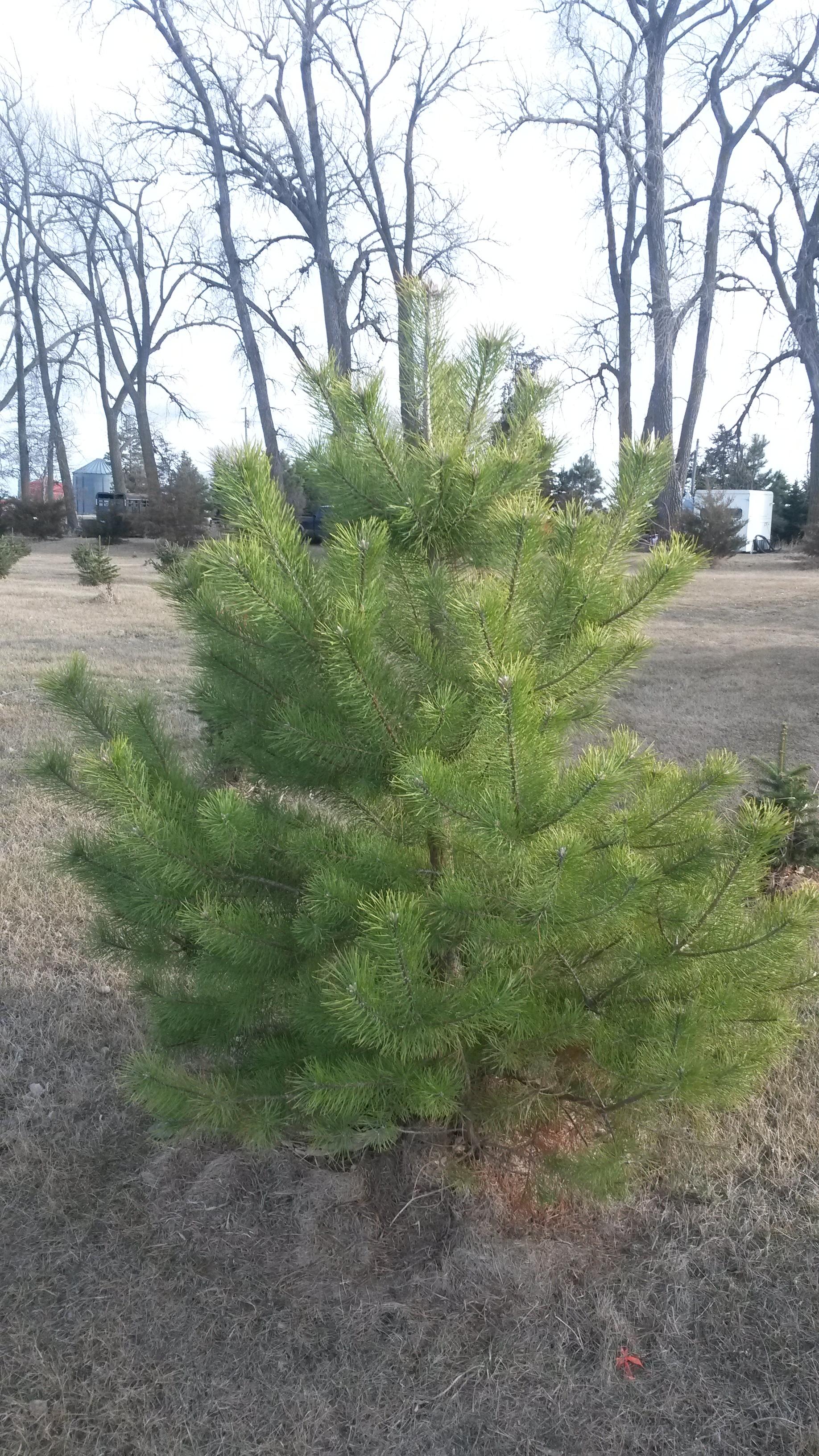 Scotch Pine 1.jpg